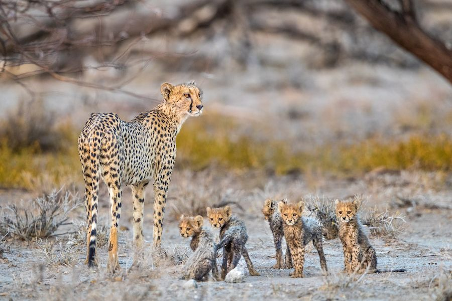 cheetah and cubs_web
