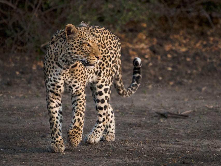 leopard copy 2