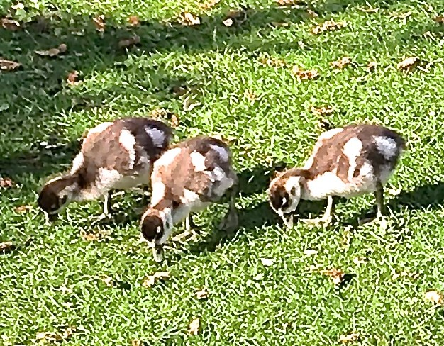2 March - Egyption geese R Park_crop