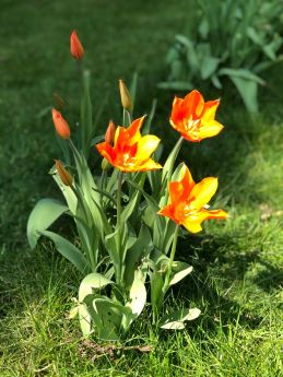 Orange tulips at Hen Corner_web