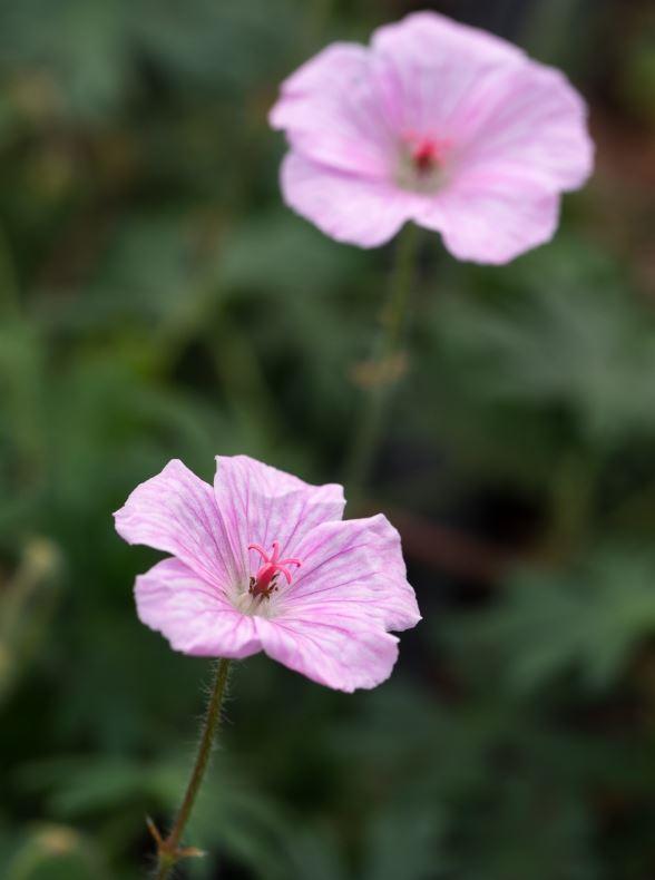 GERANIUM sanguineum var. striatum 2