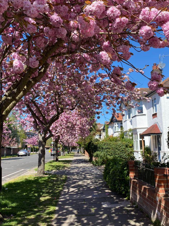 Staveley Rd blossom April 11 - Jennifer Griffiths_web