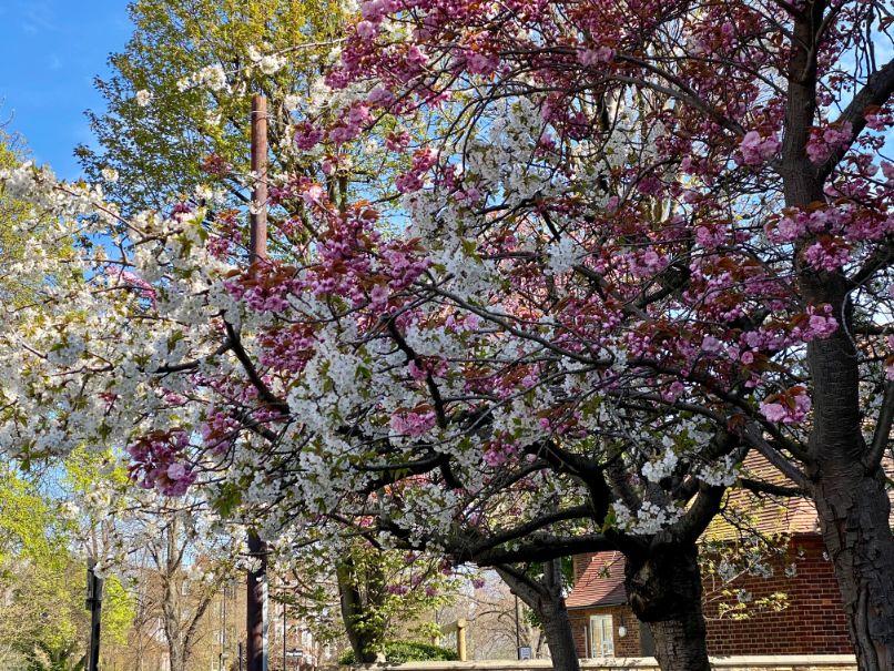 Staveley Rd blossom April 18 - Jennifer Griffiths_web