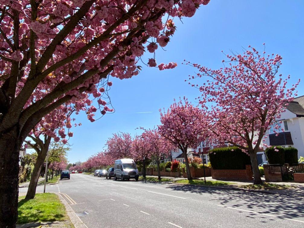 Staveley Rd blossom April 2 - Jennifer Griffiths_web