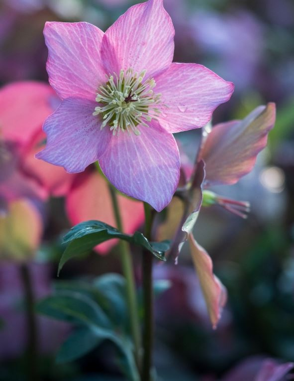 'Walberton's Rosemary' 1