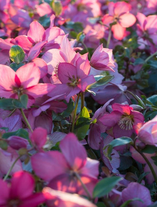 'Walberton's Rosemary' 2