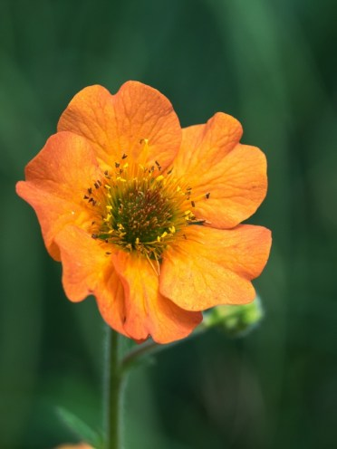 Hardy's plants - Geum Totally Tangerine