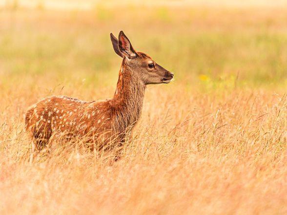 A16 - Red Deer - Animals
