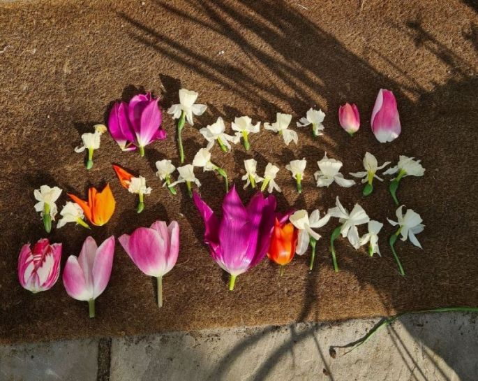 Karen's decapitated tulips_web