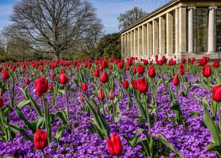 LS17 - red tulips and purple ground flowers - Landscapes & Seascapes