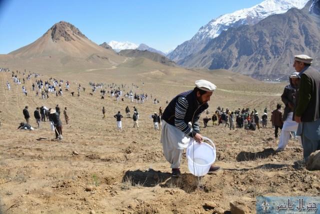 Qaqlasht plantation chitral3