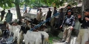 chitral police recovered goats from thiefs 1 scaled