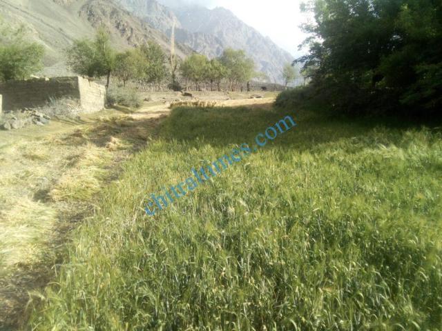 chitraltimes gochgal raman laspur water shortage6