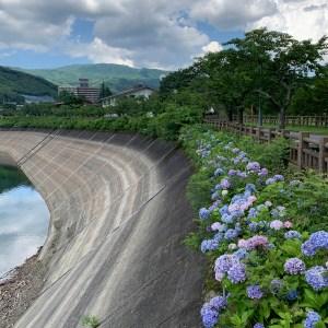 赤谷湖沿いに咲く紫陽花たち