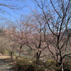 城峯公園内で見つけた三分咲き?の河津桜?