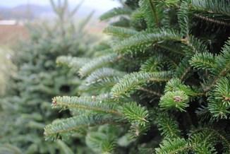 christmas-tree-730x490