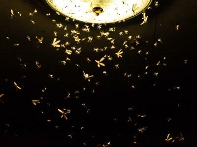 Hay una plaga de polillas en Santiago