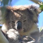 Koala Time