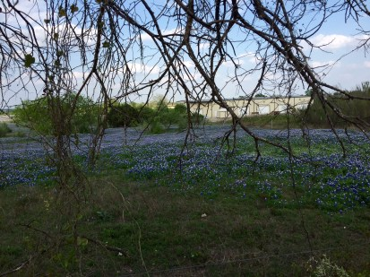 A field (or maybe fields) of bluebonnets a couple miles fom our house in Georgetown, Texas.