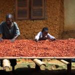 Climate Change Puts Cocoa and Chocolate Under Threat