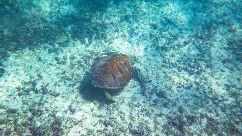 akumal turtle