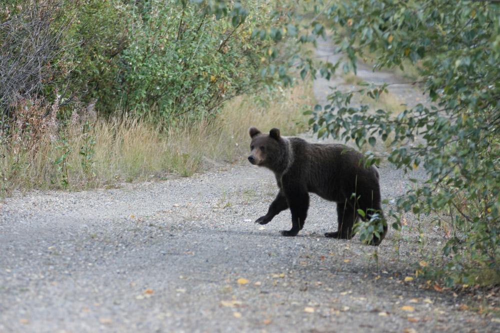 Grizzlybär am Dempster Highway