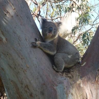 Australien Koalas