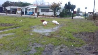 Há pouco tempo as Patolinas aproveitavam as poças da água da chuva para o banho.