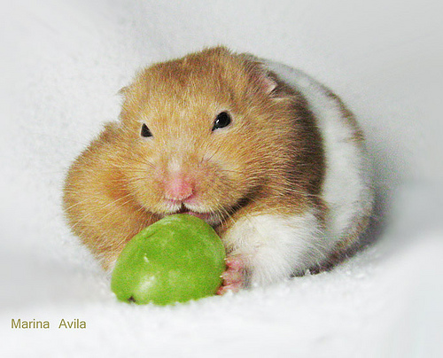Why Your Hamster Is Not Eating | Choose Hamster Cages