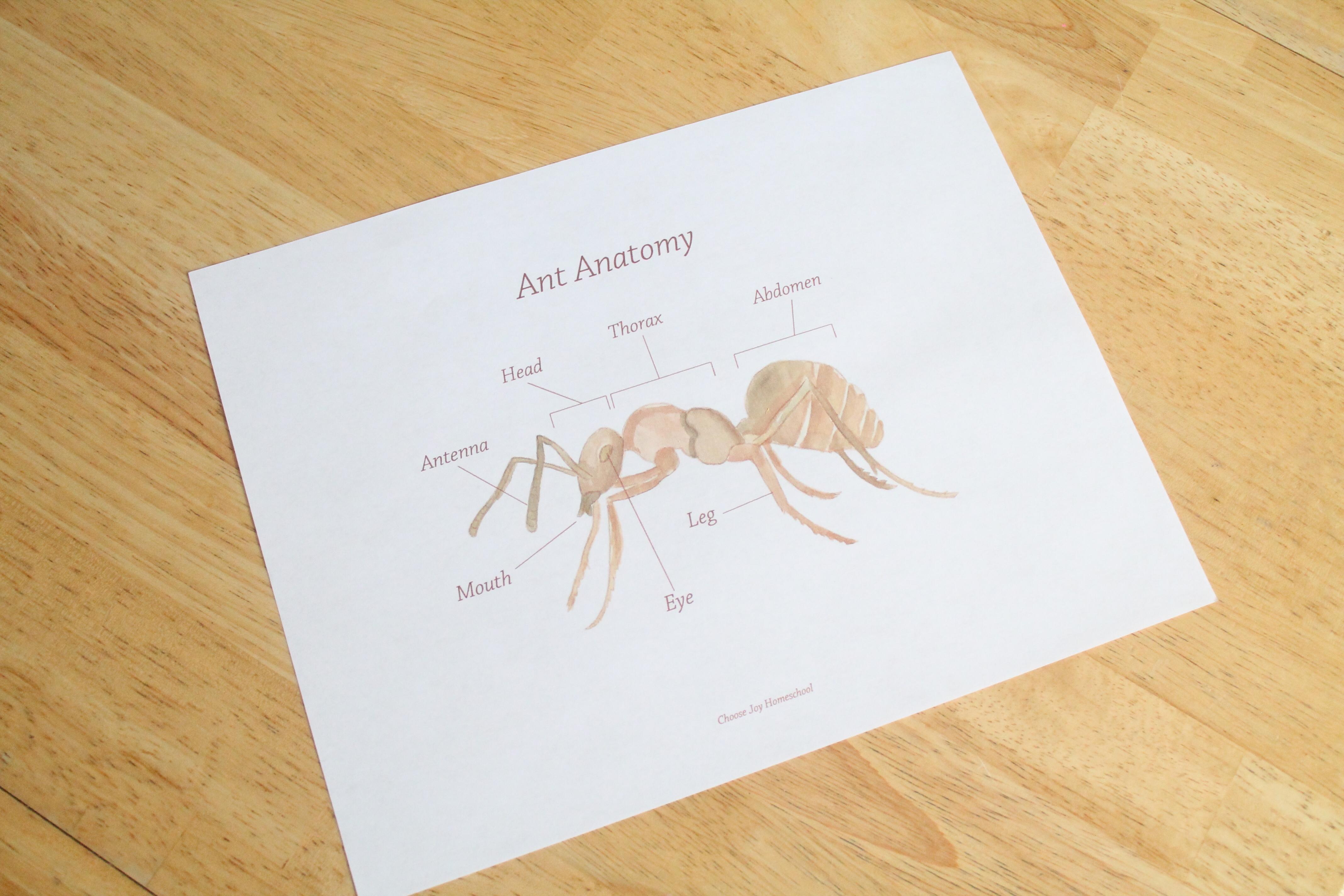 Free Ant Anatomy Printable Choose Joy Homeschool