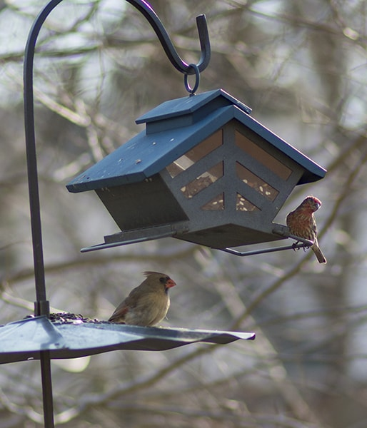 Backyard birds at bird feeder. Planting native plants is the best way to feed birds and other wildlife.