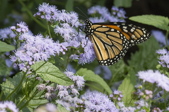 Blue mist flower (Conoclinium coelestinum) is a good late season nectar plant for flower visitor and pollinators like this monarch butterfly.