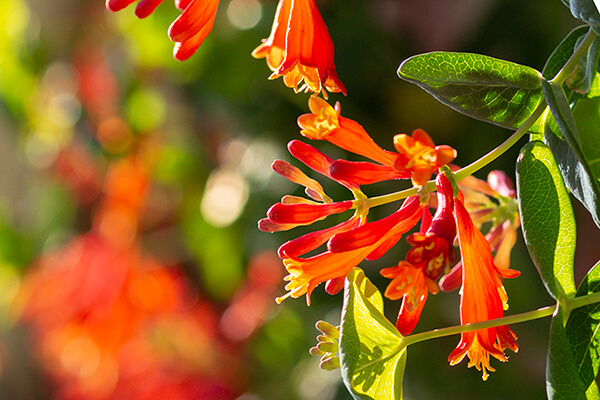 Coral honeysuckle (Lonicera sempervirens) is one of the best plants for hummingbirds.
