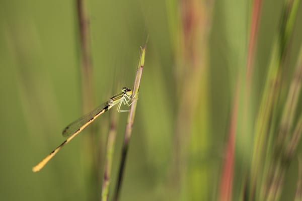 Native plant gardens attract interesting insects like this damselfly.
