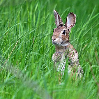 Eastern cottontails can do a lot of damage in a garden. But there are many rabbit-resistant native plants available to the besieged gardener.