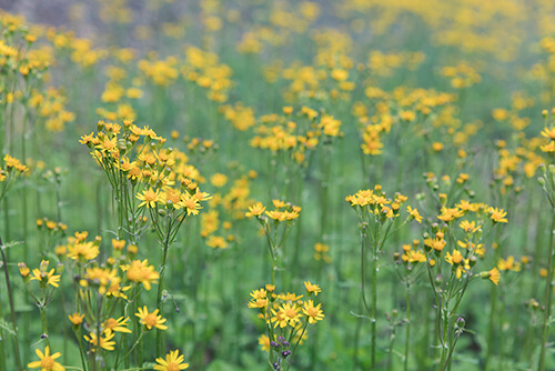 golden ragwort (Packera aurea) grows in the wild