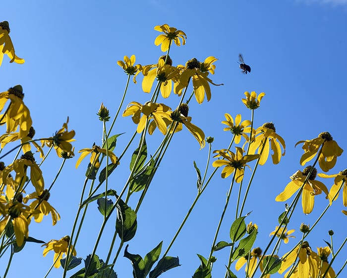 The pollen of green-headed or cutleaf coneflower (Rudbeckia laciniata) supports specialist bees.