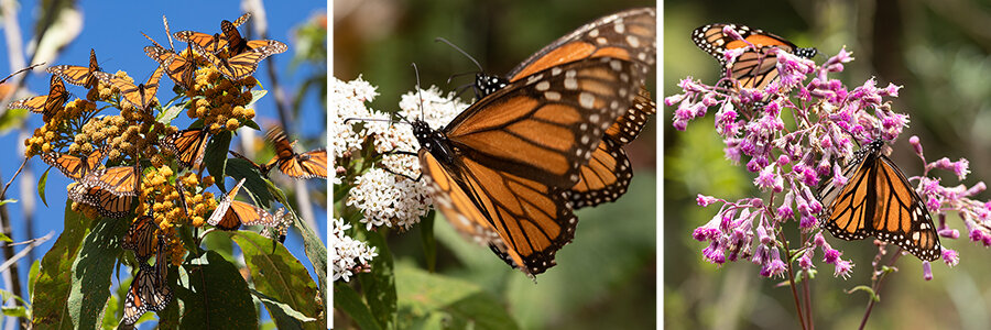 Monarch butterflies nectaring on various native flowers in Mexico.