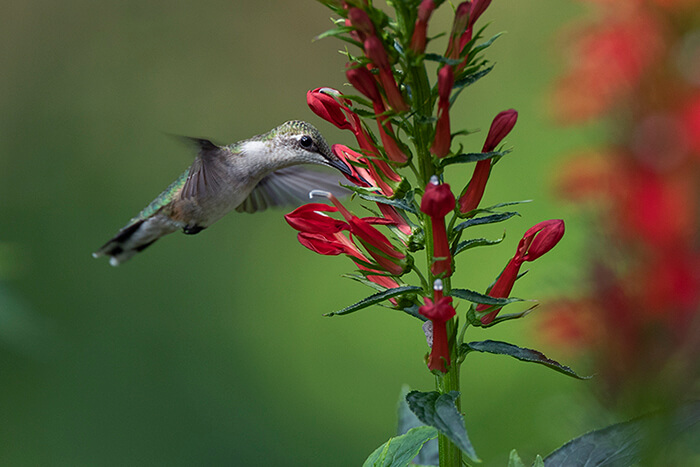 A ruby throated hummingbird sips nectar at cardinal flower (Lobelia cardinalis).