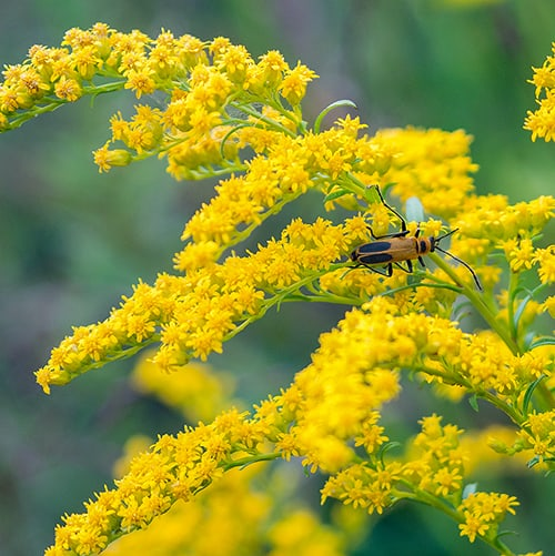 Goldenrod (Solidago spp.) is not preferred by rabbits.