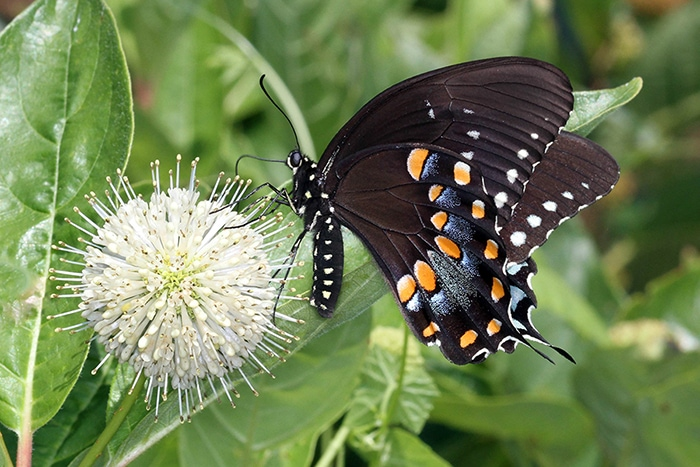 Buttonbush (Cephalanthus occidentalis) attracts many flower visitors and pollinators like this spicebush swallowtail.