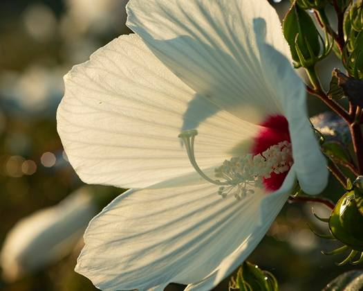 The pollen of swamp rose mallow (Hibiscus moscheutos) supports specialist bees.