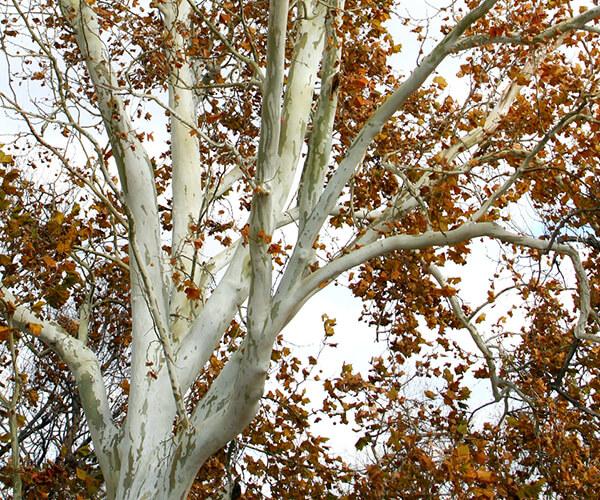 sycamore-tree-600