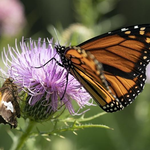 Insects find native thistles irresistible.
