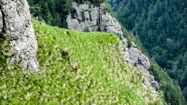 Kozice niewiele sobie robią ze stromych zboczy i obecności turystów