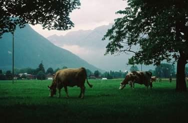 Cows in Interlaken, Switzerland
