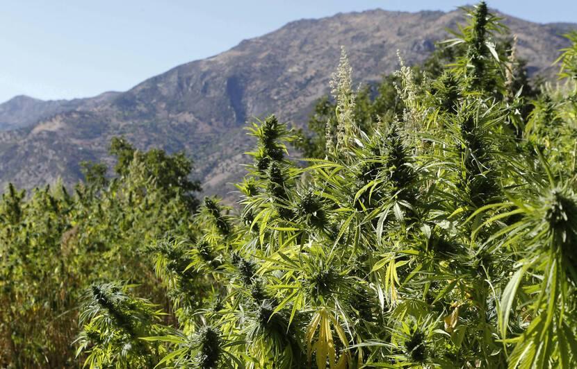 le CBD produit dérivé du cannabis