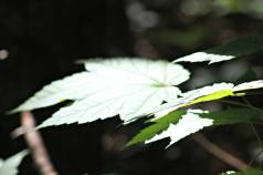 maple-leaf-caqtching-some-rays