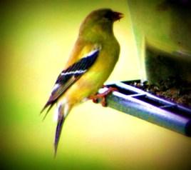 goldfinch-at-feeder