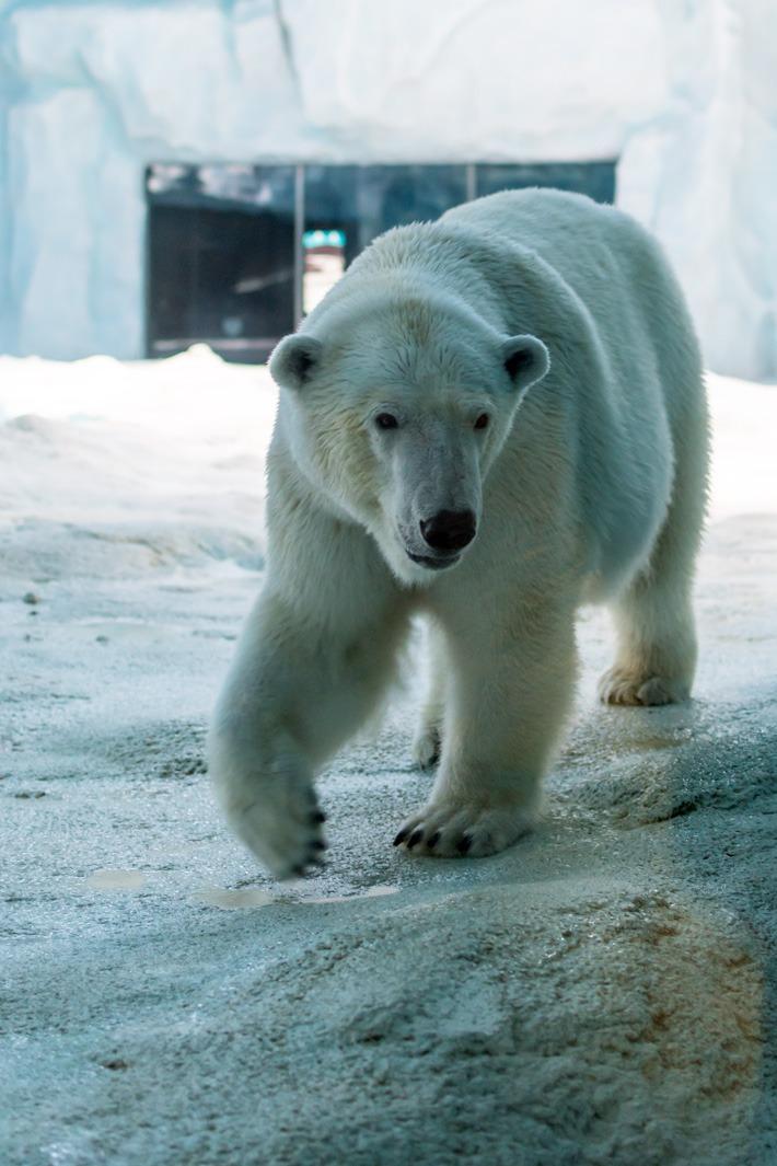 Chimelong-Ocean-Kingdom-Polar-Beark